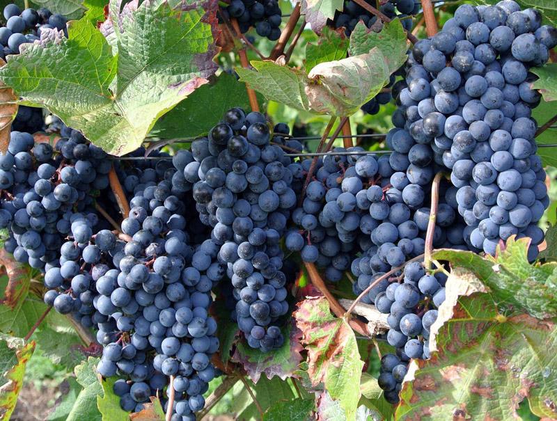 نهال انگور سیاه سردشت شرابی