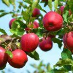 نهال سیب رد دلشیز