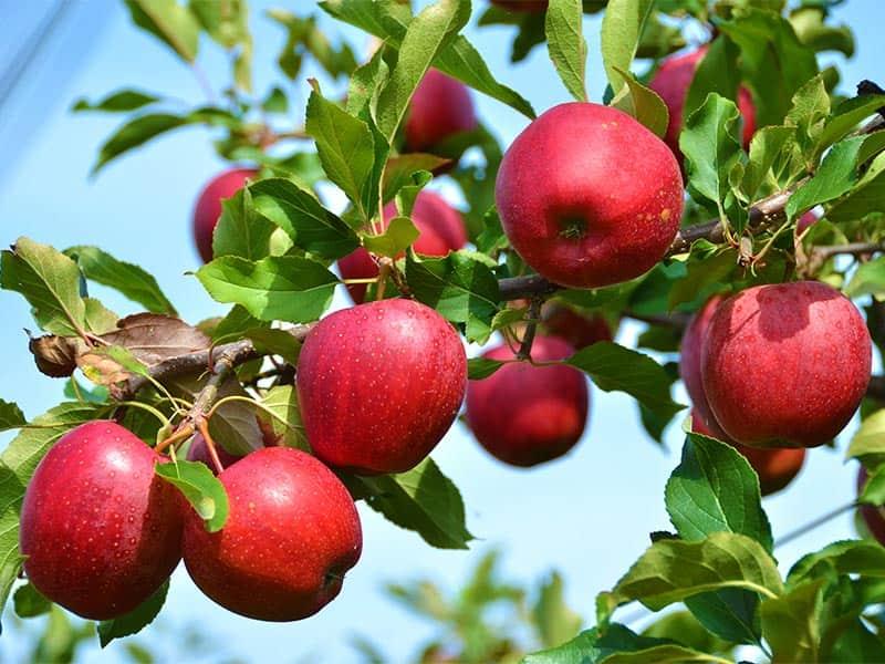 عوامل موثر در میزان رشد سیب رد دلشیز