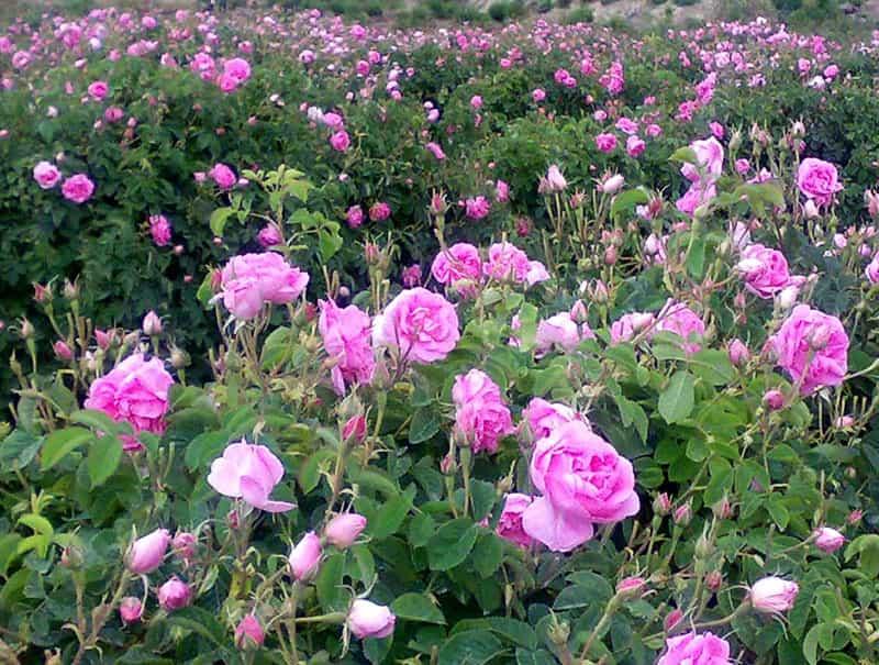 نهال گل محمدی دیم
