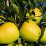 نهال سیب زرد فرانسوی