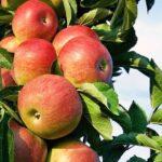 نهال سیب دو رنگ فرانسوی
