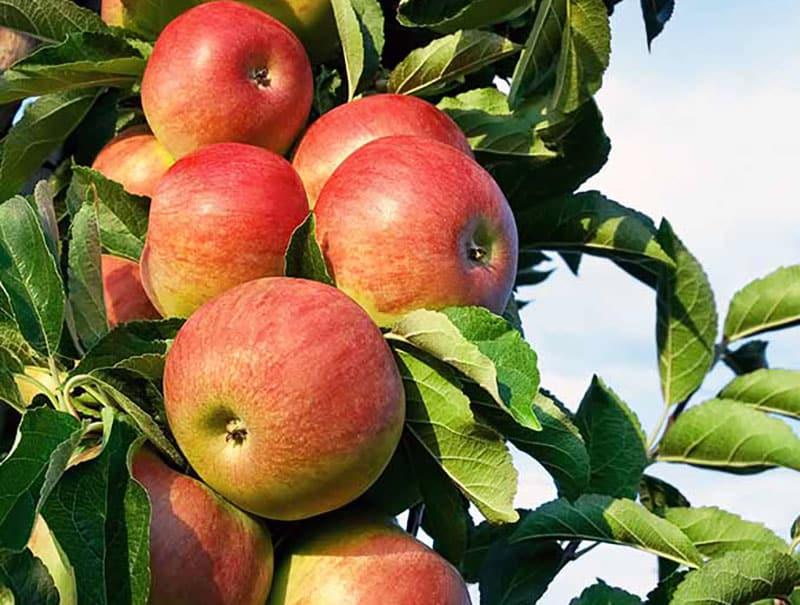 نهال سیب دورنگ فرانسوی