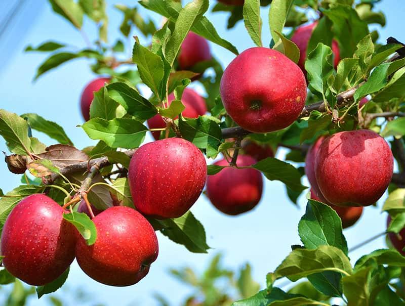 نهال سیب قرمز فرانسوی