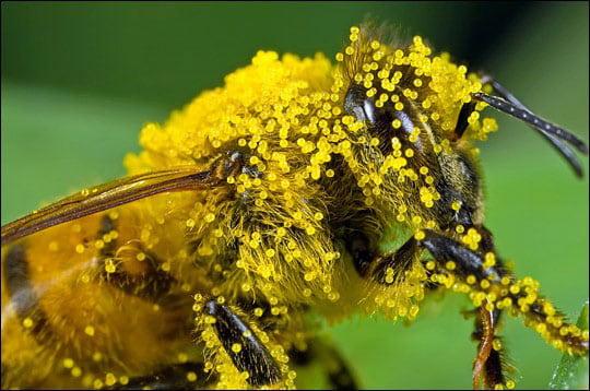 گرده افشانی به کمک زنبور