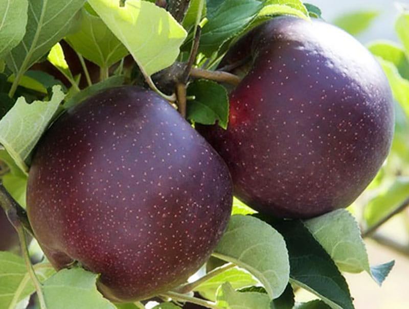 نهال سیب جرومین