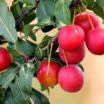 نهال گوجه قرمز