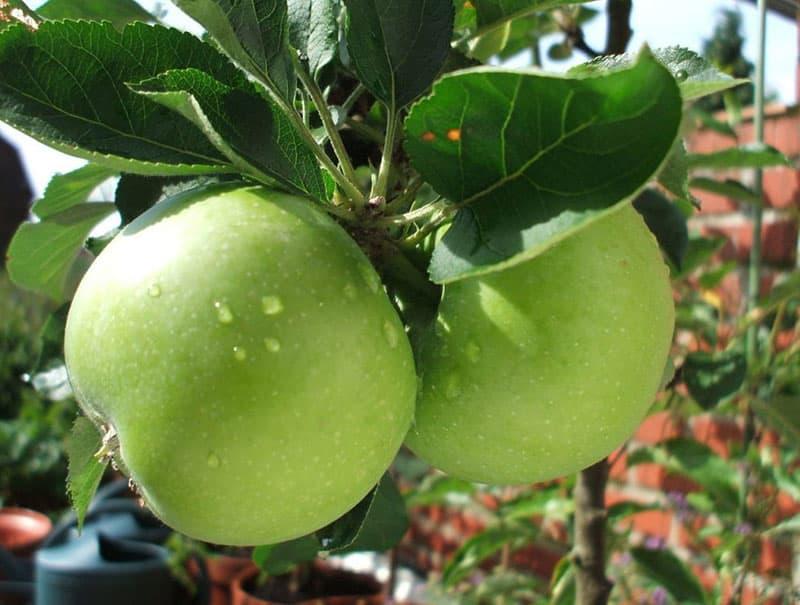 نهال سیب گرنی اسمیت