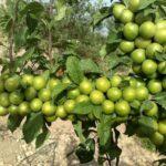 نهال گوجه سبز شهریار
