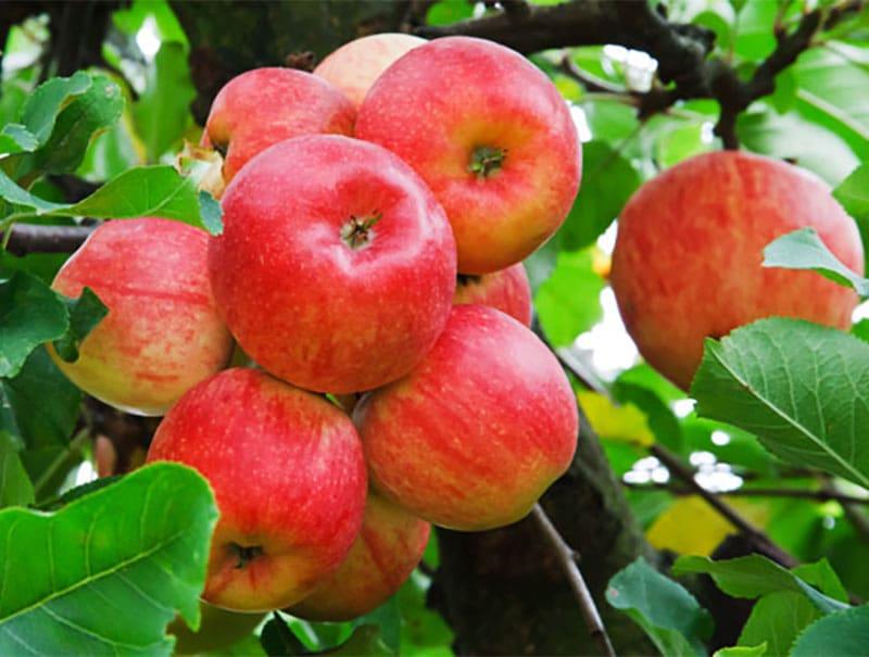 نهال سیب گلاب کهنز