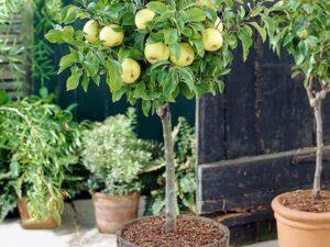 کاشت درخت سیب در باغچه