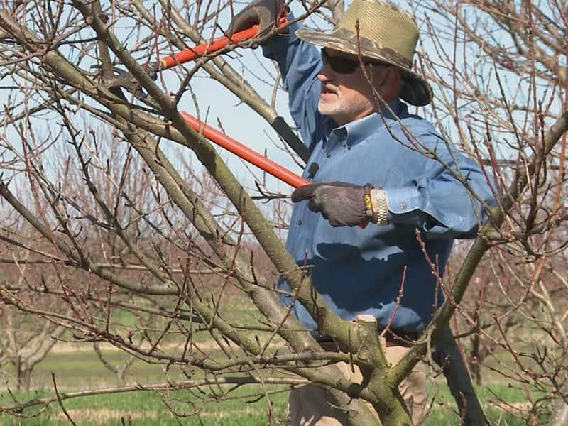 راهنمای هرس کردن درخت شلیل