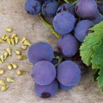کاشت هسته انگور