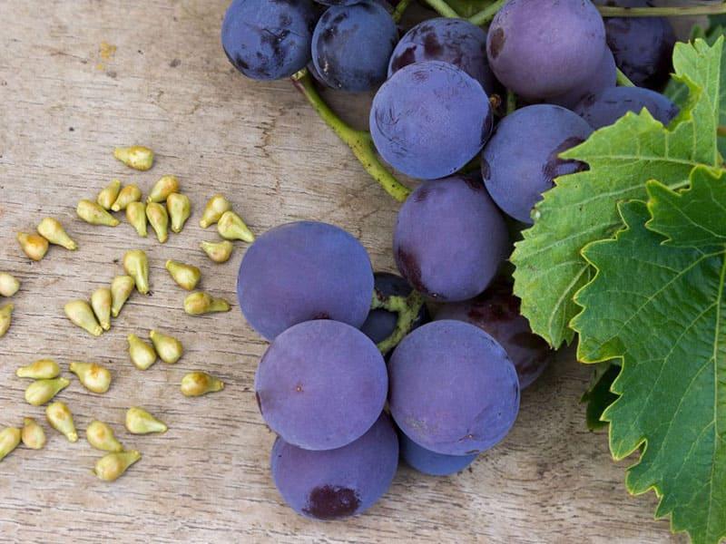 پرورش درخت انگور در منزل با کاشت هسته انگور: در 12 مرحله