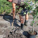 کاشت نهال سیب در باغچه