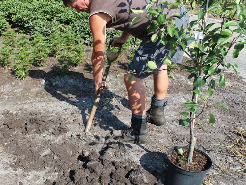 ترفندهای کاشت نهال سیب در باغچه منزل