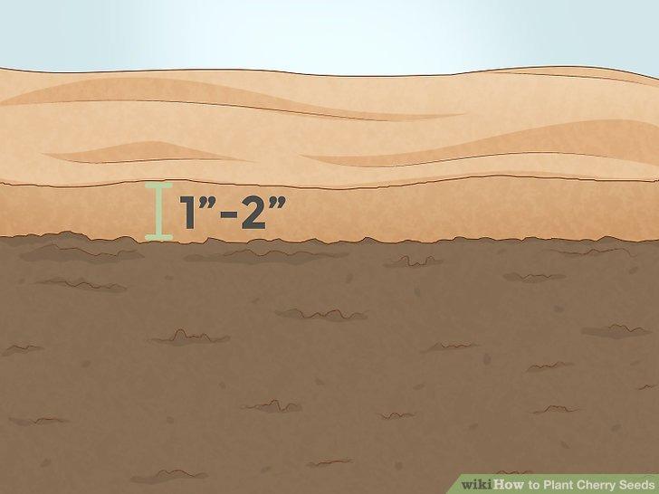 عمق بذر گیلاس در خاک