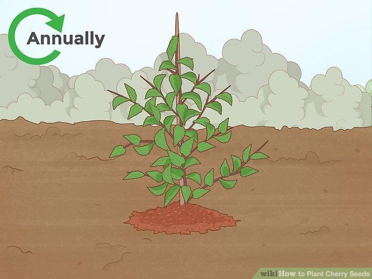 برای درختان گیلاس سالانه مالچ پاشی انجام دهید
