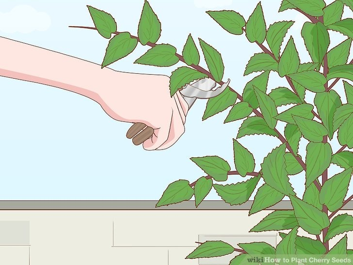 هرس کردن درخت گیلاس