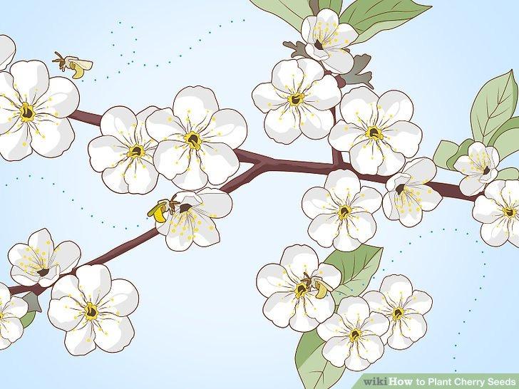 گرده افشانی شکوفه گیلاس