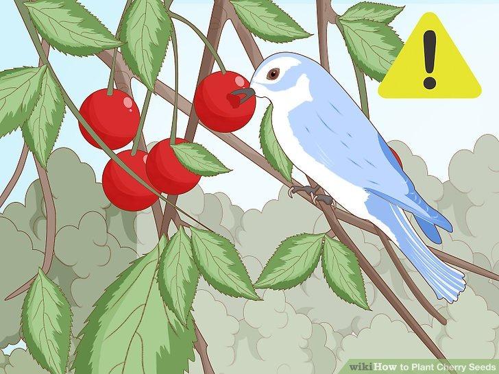 دور کردن پرنده ها از درخت گیلاس