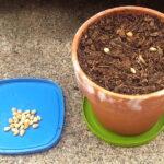 کاشت بذر گیلاس