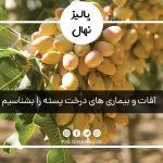 آفات و بیماری های درخت پسته را بشناسیم