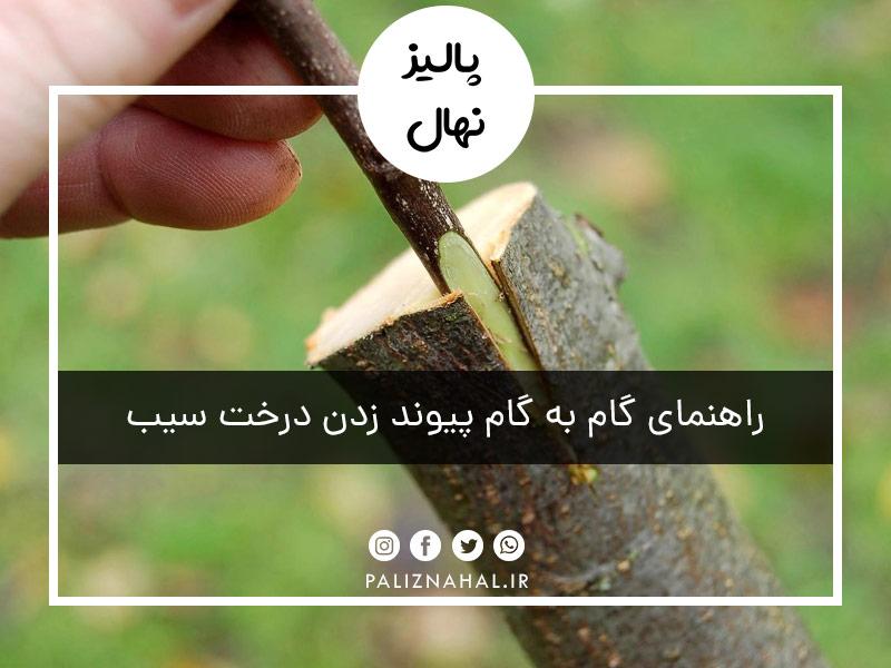 راهنمای گام به گام پیوند زدن درخت سیب