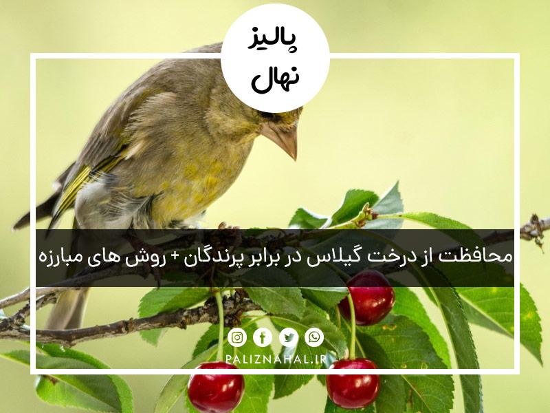محافظت از درخت گیلاس در برابر پرندگان + روش های مبارزه