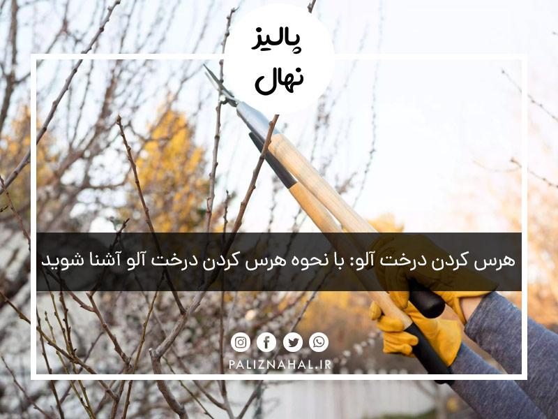 هرس کردن درخت آلو: با نحوه هرس کردن درخت آلو آشنا شوید