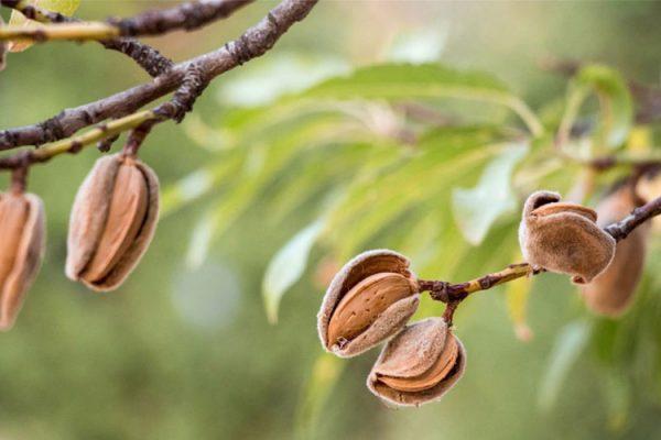 میزان باردهی درخت بادام