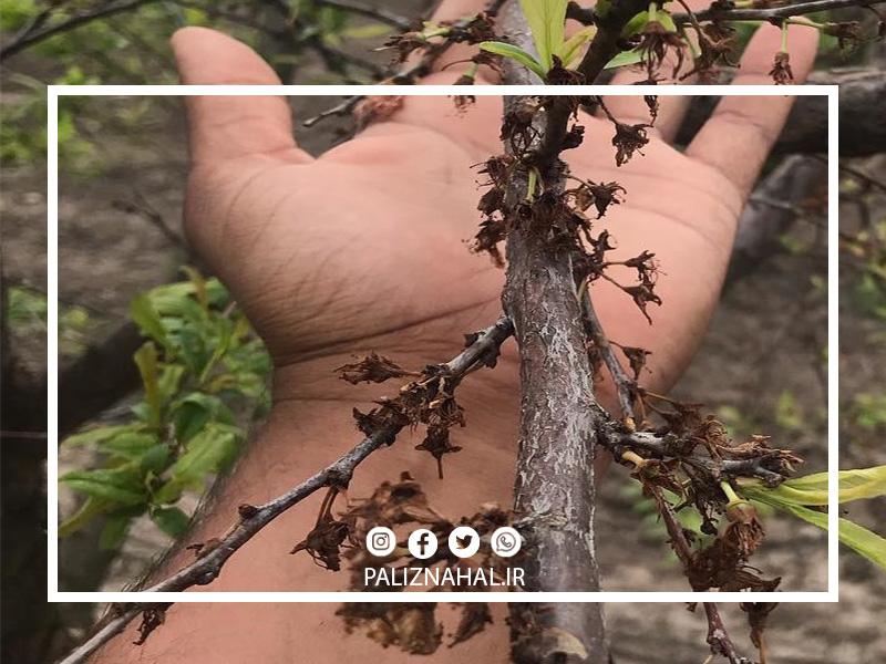 علت خشک شدن ناگهانی درخت بادام