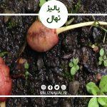 علت میوه ندادن درخت گیلاس