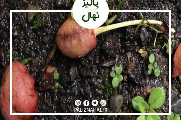 علت میوه ندادن درخت گیلاس چیست؟