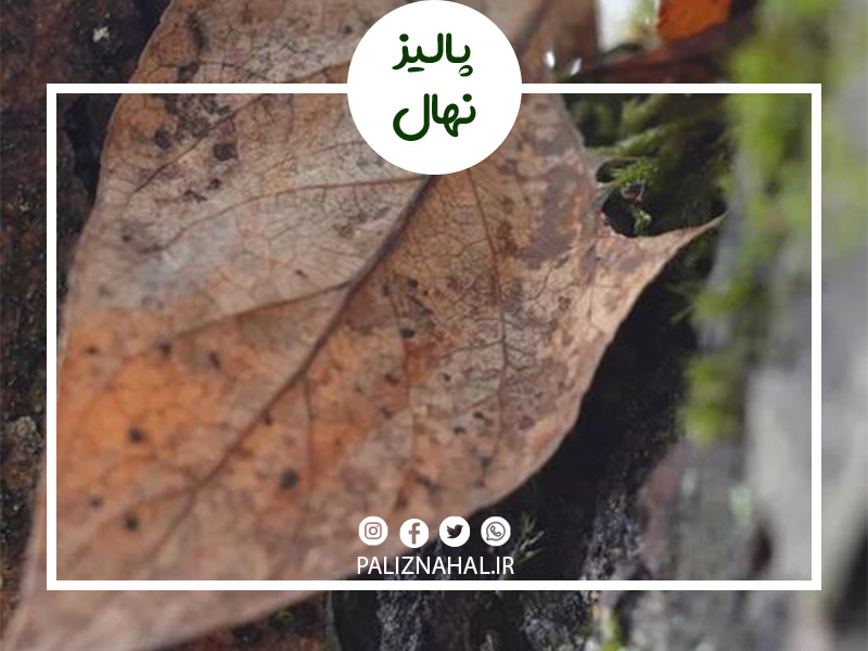 علت خشک شدن ناگهانی درخت گیلاس چیست؟