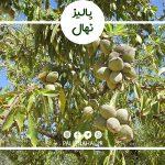 کاشت و پرورش درخت بادام