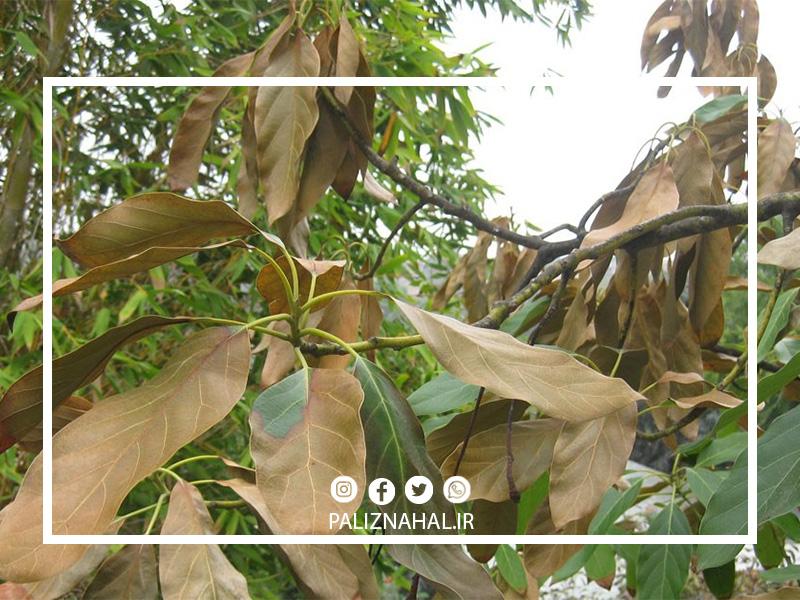 علت خشک شدن ناگهانی درخت گیلاس