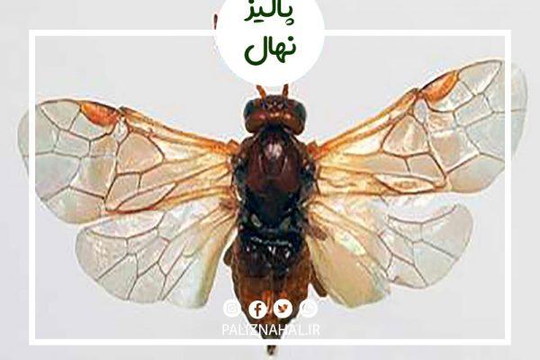 زنبور مغز خوار بادام
