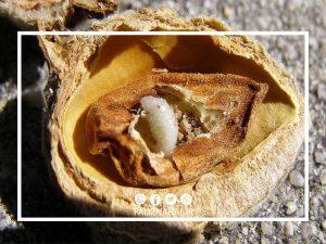 زنبور مغز خوار درخت بادام