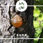 درمان صمغ درخت گیلاس