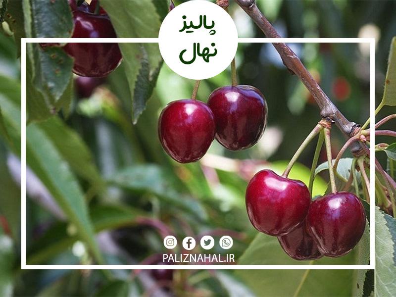 پرورش و زمان سمپاشی درخت گیلاس به چه صورت است؟