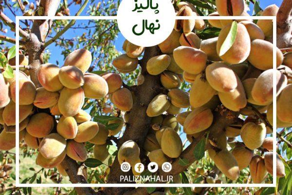مدت زمان باردهی درخت بادام چند سال است؟