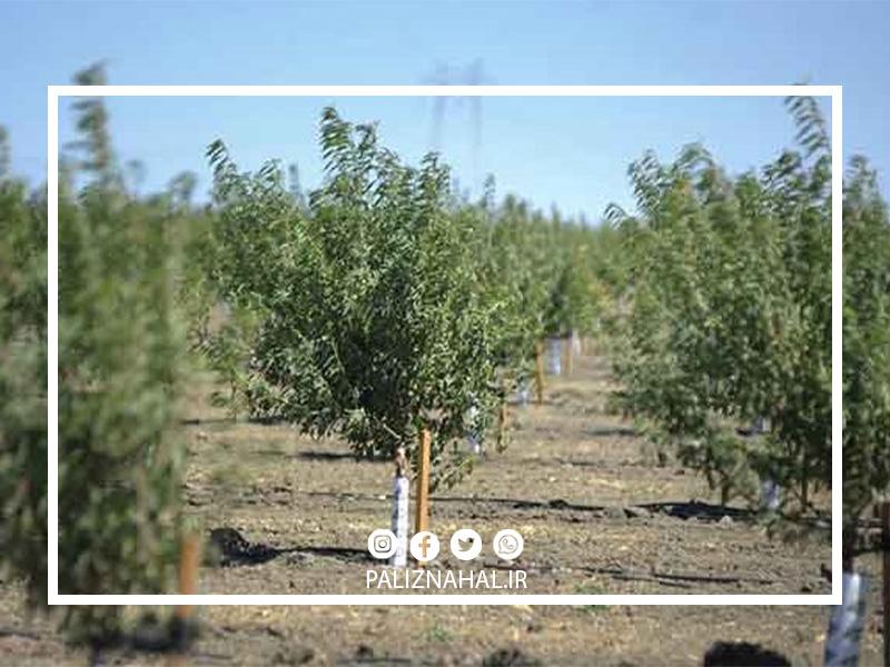 مدت زمان باردهی درخت بادام
