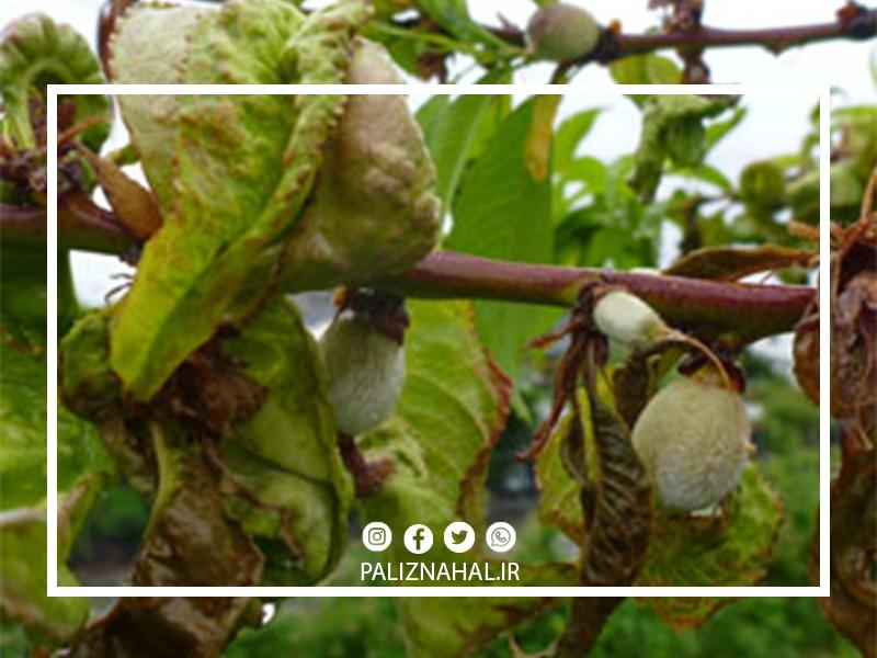 علت پیچیدگی برگ درخت بادام