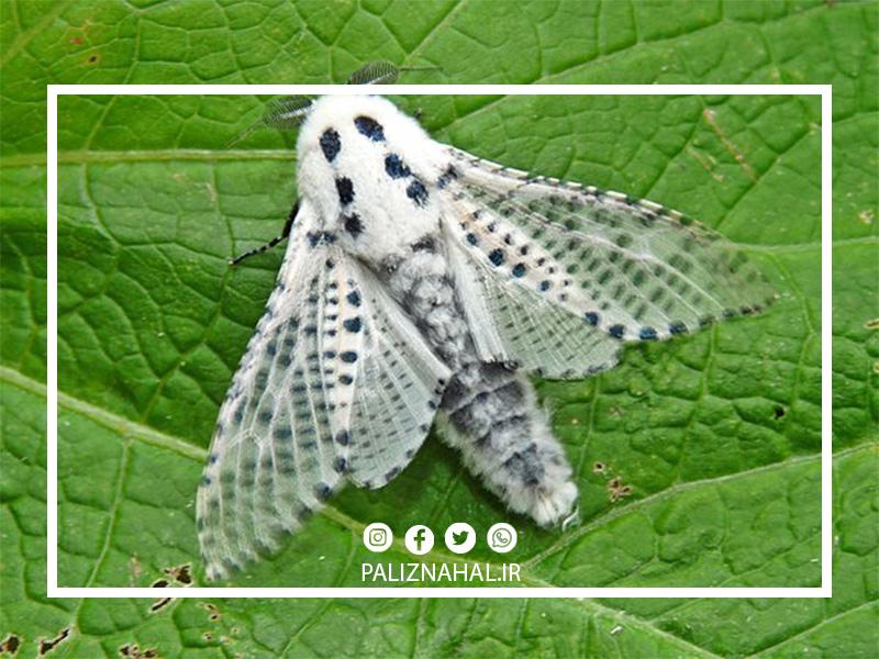 پروانه فری