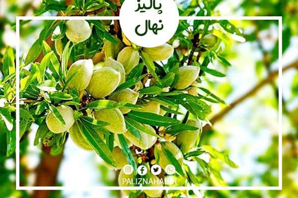 علت زرد شدن برگ درخت بادام چیست؟