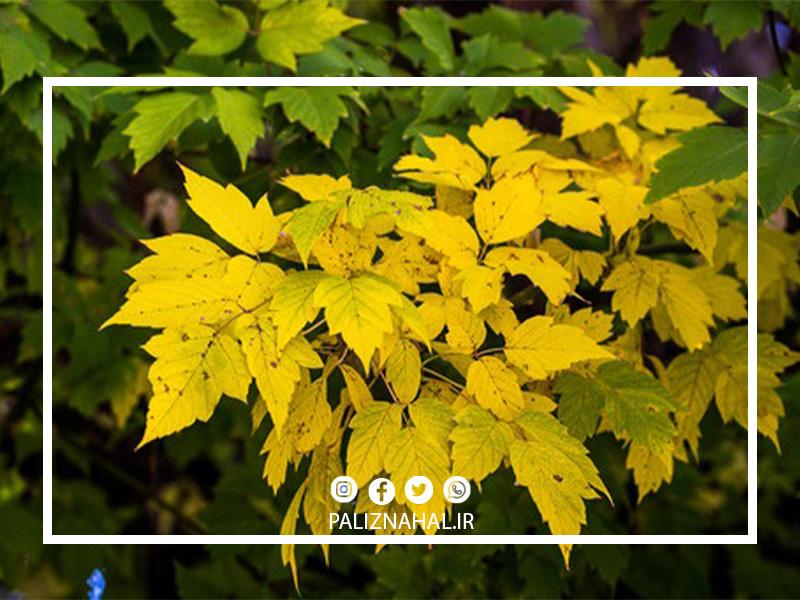 علت زرد شدن برگ درخت بادام
